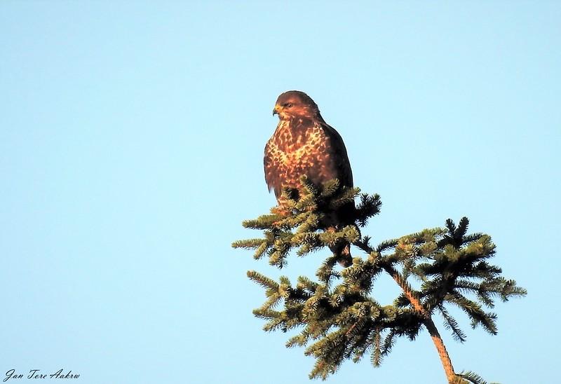 Musvåk<br /> <br /> Commom buzzard