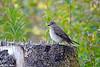 Grå fluesnapper<br /> <br /> Spotted flycatcher