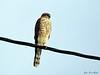 Spurvehauk<br /> <br /> Eurasian sparrowhawk