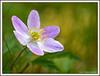 Kvitveis   ( anemone nemorosa )