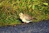 Turteldue<br /> <br /> European turtle dove