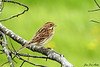Sivspurv (hunn)<br /> <br /> Common reed bunting (female)