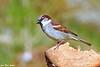 Gråspurv<br /> <br /> House sparrow