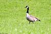 Kanadagås<br /> <br /> Canada goose