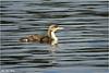 Storlom<br /> <br /> Black-throated loon (winter)