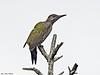 Ung grønnspett<br /> <br /> Young European green woodpecker