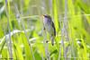 Sivsanger<br /> <br /> Sedge warbler