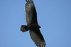 Turkey Vulture - Clam Bay May 4th 2008