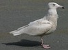 Glaucous Gull - Red Bridge Pond Dartmouth April 4th 2008
