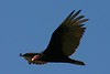 Turkey Vulture - Clam Bay,  Sunday May 4th 2008