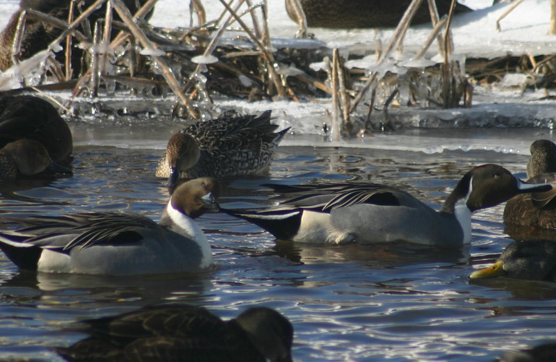 Northern Pintails - Eastern Passage
