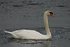 Swan in ice - Sullivans Pond March 27th 2008