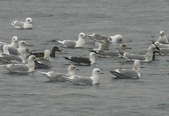 Lesser Back-backed Gull - near ferry route outflow February 28th 2008