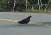 Turkey Vulture - Pic taken through car windshield