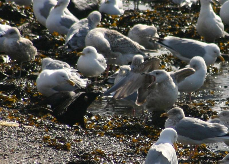 Brave Crow- March 18th Dartmouth Cove 2008