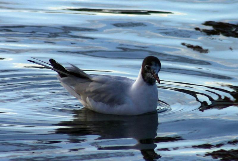 Black-headed Gull - Tufts Cove March 21st 2008