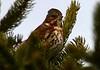 Fox Sparrow - River Bourgeois, Rich. Co. - April 8th 2008