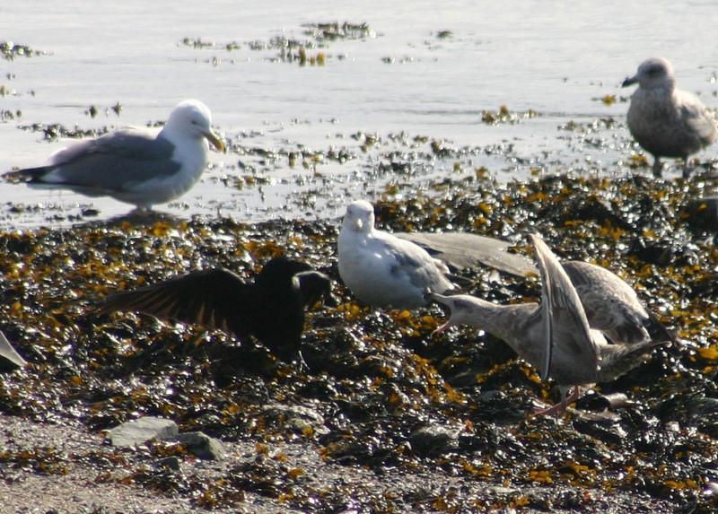 Brave Crow - Dartmouth Cove March 18th 2008