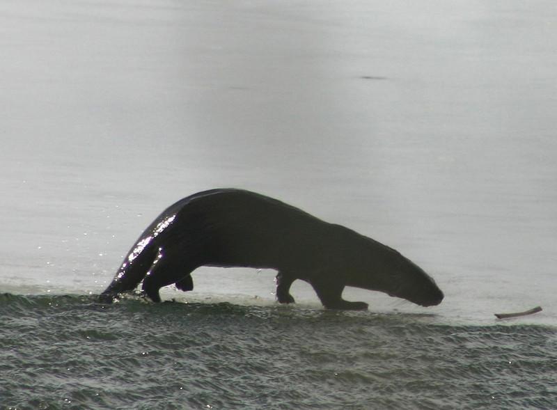 Otter - Red Bridge Pond Dartmouth March 17th 2008