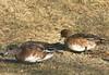 American/ Eurasian Wigeon Fm - Sullivans Pond March 23rd 2008