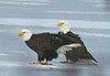 Bald Eagle pair - Red Bridge Pond Dartmouth March 13th 2008