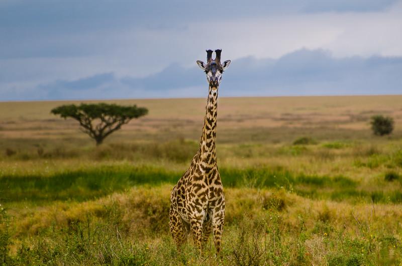Foreground, giraffe, background, Acacia