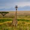 Foreground, giraffe, Acacia, background