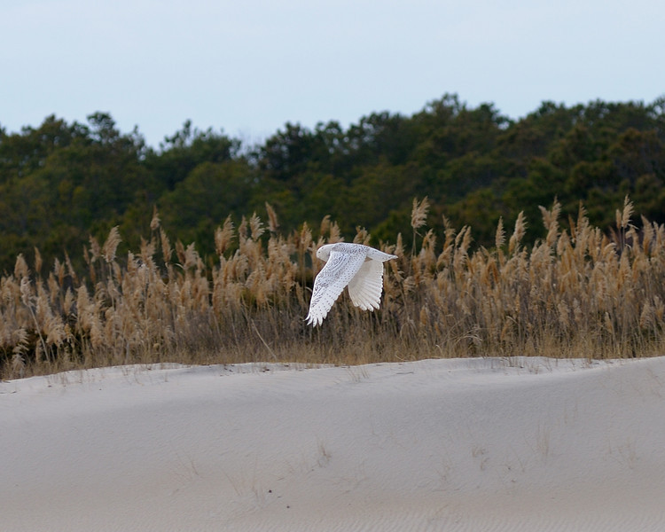 My best Snowy Owl in flight.....<br /> #101