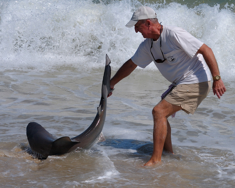 Dale Timmons releasing a medium Sandbar Shark