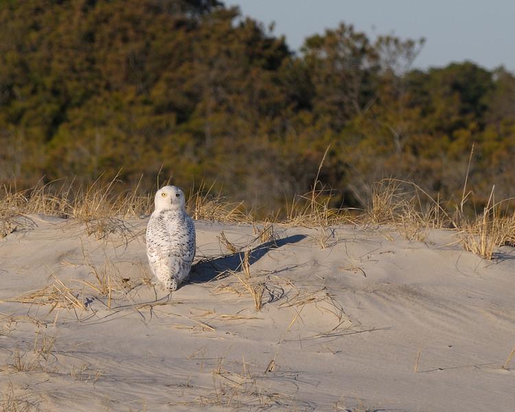 Snowy Owl at Assateague Island