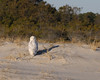 Snowy Owl at Assateague Island