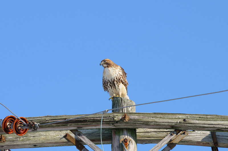 As big around as the telophone pole, this hawk wasn't camera shy at all....top of the food chain has its perks! Shot on Bunting Road near my home in Bishopville Md.