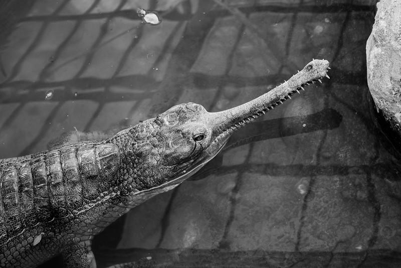 Gharial - La Ferme aux Crocodiles