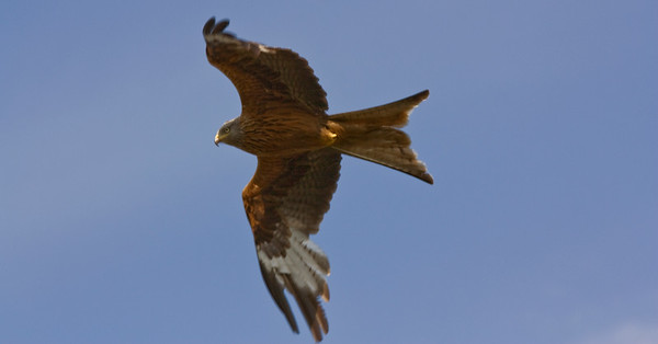 Red Kite over the Chilterns