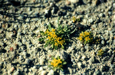 3/24/01 Yellow Peppergrass (Lepidium flavum). Abundant in open areas near Visitor center & campsites, Red Rock Canyon State Park, Kern County, CA