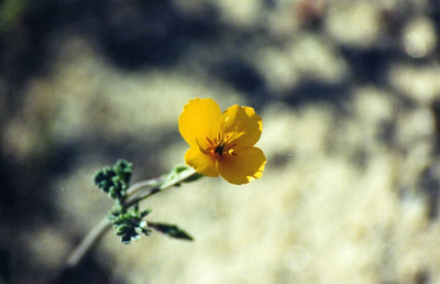 3/22/03 Little Gold Poppy (Eschscholzia minutiflora). Campsite #13, Red Rock Canyon State Park,  Kern County, CA