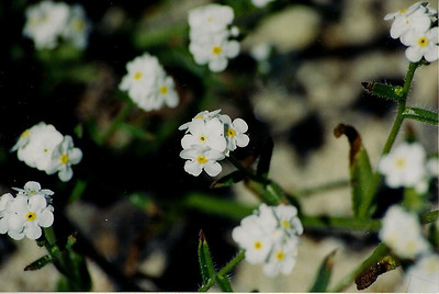 3/22/03 Scented Forget-Me-Not (Cryptantha utahensis)? Hagen Canyon Nature Trail, Red Rock Canyon State Park, Kern County, CA