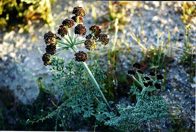 3/22/03 Desert Parsley (Lomatium mohavense). Red Rock Canyon State Park, wash/open area between visitor center and campground, N. Mojave Desert, Kern County, CA