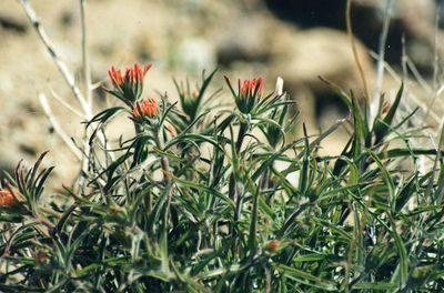 3/24/01 Desert Indian Paintbrush (Castilleja angustifolia). Desert View Nature Trail, Red Rock Canyon State Park, Kern County (N. Mojave), CA