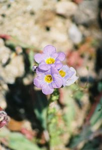 3/18/00 Fremont Phacelia (Phacelia fremontii). Desert View Nature Trail, Red Rock Canyon State Park, Kern County, CA