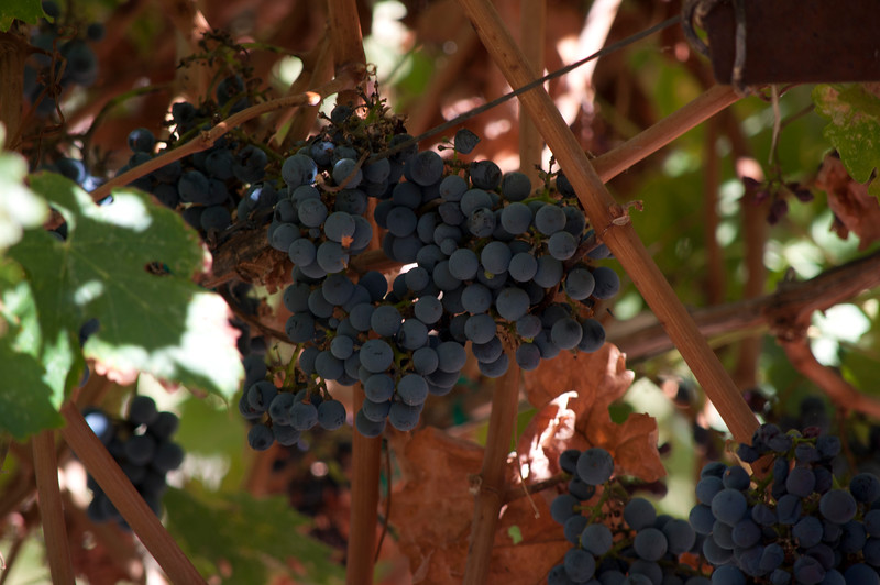 Grapes at ZD Vineyards