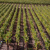 The vineyards at ZD Vineyards