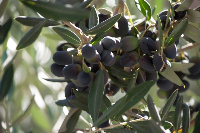 Round Pond - The Olives