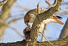Red-tailed Hawk with Muskrat