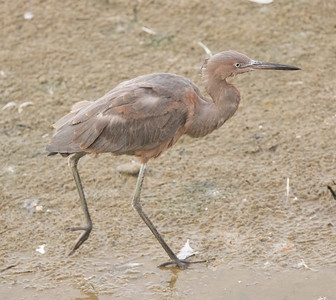 Reddish  Egret  Oceanside 2016 09 19-2.CR2