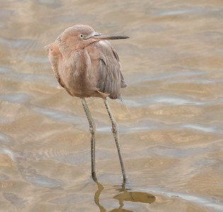 Reddish  Egret  Oceanside 2016 09 19-1.CR2