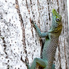 Cayman Green Anole (Anolis maynardi) Grand Cayman, Cayman Islands