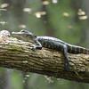 American Alligator (Alligator mississippiensis) I'on Swamp, Charleston SC