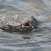 American Alligator (Alligator mississippiensis) Everglades NP, FL