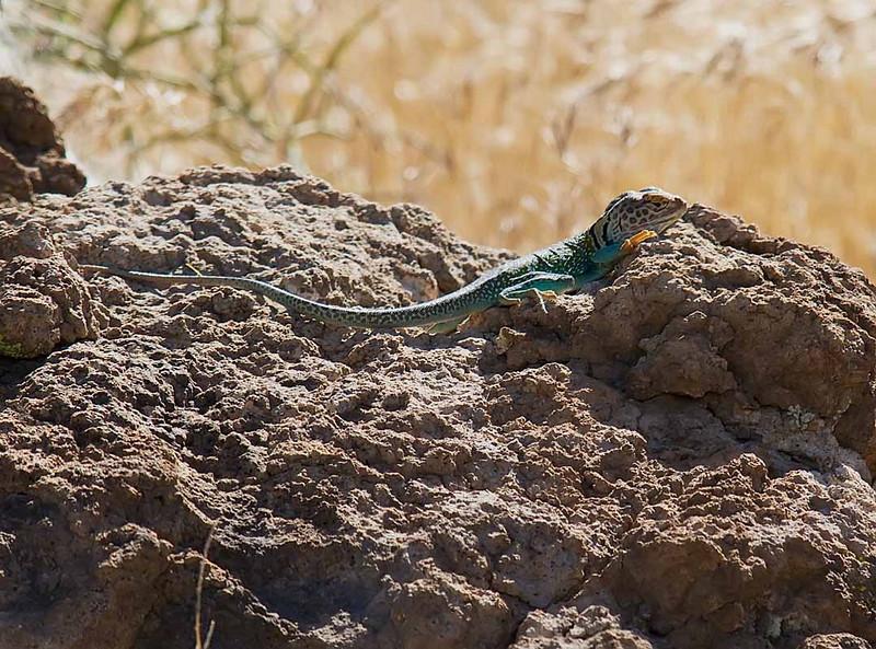 Collared Lizard - Male